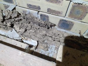 termite damage to top plate in void roof (Small)